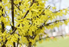 Blooming forsythia Stock Photos