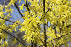 Blooming forsythia Stock Photography