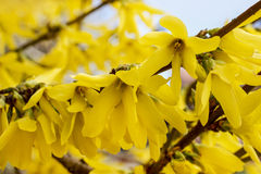Blooming forsythia Royalty Free Stock Image
