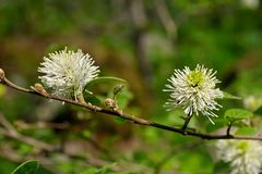Blooming Fothergilla major Stock Image