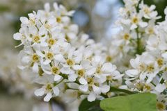 Blooming fragrant bird cherry tree closeup Royalty Free Stock Images