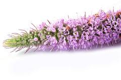 Blooming fragrant mint Royalty Free Stock Photos