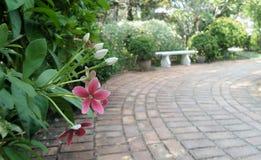Blooming fragrant Rangoon creeper flower in green garden in summer Stock Images