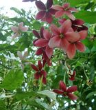 Blooming fragrant Rangoon creeper flower Royalty Free Stock Photography