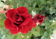 Blooming fragrant  red rose in the garden Royalty Free Stock Images