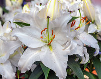 Blooming fragrant white flower oriental Lily After Eight. Close-up Stock Images