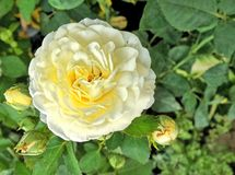 Blooming fragrant  yellow rose in the garden Stock Photo