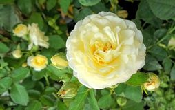 Blooming fragrant  yellow rose in the garden Stock Photos