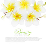 Blooming frangipani Isolated on white Royalty Free Stock Images