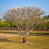 Blooming Frangipani Tree Royalty Free Stock Photo