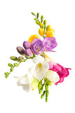 Blooming Freesia. Royalty Free Stock Image