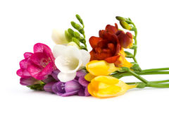 Blooming Freesia. Stock Photo