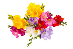 Blooming Freesia Stock Image