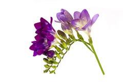 Blooming Freesia Stock Photos