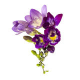 Blooming Freesia Royalty Free Stock Photography
