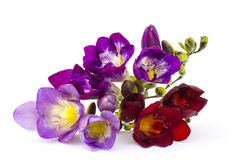 Blooming Freesia Stock Images