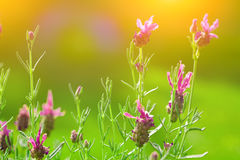 Blooming french lavender in the late summer sun Royalty Free Stock Photography