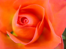 Blooming Fresh Colored Flower Stock Images