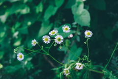 Blooming fresh field of camomiles as a background. spring and summer flower Royalty Free Stock Images
