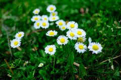 Blooming fresh field of camomiles as a background. spring and summer flower Royalty Free Stock Image
