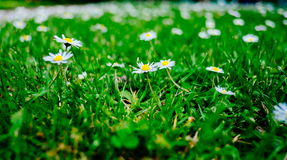 Blooming fresh field of camomiles as a background. spring and summer flower Stock Photos