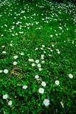 Blooming fresh field of camomiles as a background. spring and summer flower Stock Photo