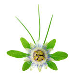 Blooming fresh passionflower flower with leaves and foliage is i Stock Photos