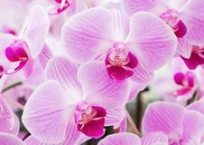 Blooming of the fresh phalaenopsis orchid. Royalty Free Stock Photo