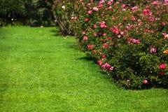 Blooming fresh pink rose bush in the garden stock image