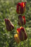 Blooming fresh tulips in the garden dew royalty free stock photo