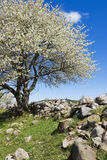 Blooming fruit tree Stock Images