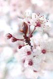 Blooming fruit tree royalty free stock photos