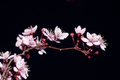 Blooming fruit tree Royalty Free Stock Images