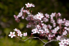 Blooming fruit tree Royalty Free Stock Photos