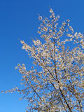 Blooming fruit tree against blue sky. White flowers on fruit tree in the garden Stock Photography