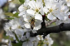 A blooming fruit tree with a bee on a white-pink flower. Blurred background, clear sunny spring day. macro photo. A blooming fruit tree with a bee on a white stock photo