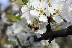 A blooming fruit tree with a bee on a white-pink flower. Blurred background, clear sunny spring day. macro photo. A blooming fruit tree with a bee on a white royalty free stock photography