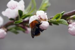 A blooming fruit tree with a bee on a white-pink flower. Blurred background, clear sunny spring day. macro photo royalty free stock images