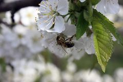 A blooming fruit tree with a bee on a white-pink flower. Blurred background, clear sunny spring day. macro photo. A blooming fruit tree with a bee on a white royalty free stock images