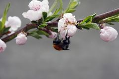 A blooming fruit tree with a bee on a white-pink flower. Blurred background, clear sunny spring day. macro photo. A blooming fruit tree with a bee on a white royalty free stock photo