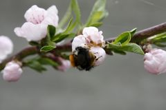 A blooming fruit tree with a bee on a white-pink flower. Blurred background, clear sunny spring day. macro photo royalty free stock photos