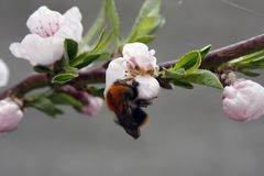 A blooming fruit tree with a bee on a white-pink flower. Blurred background, clear sunny spring day. macro photo. A blooming fruit tree with a bee on a white stock photos