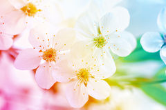 Blooming fruit tree branch Royalty Free Stock Images