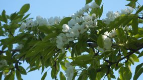 Blooming fruit tree. Natural background stock video footage