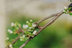 Blooming fruit tree on nature background Spring flowers Spring background royalty free stock photos