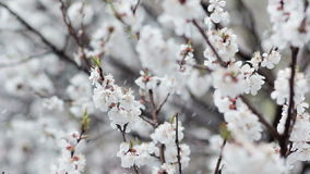 Blooming fruit tree and snowfall at spring. Apricot white flowers close up and falling snow on background. Unusual cold weather and bad harvest concept stock video