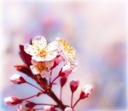 Blooming fruit tree at spring Stock Image