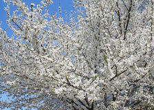 Blooming fruit tree Stock Photos