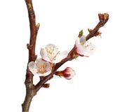 Blooming fruit-tree twig Royalty Free Stock Photos
