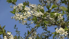 Blooming fruit tree twig with white blooms in spring. 4K. Blooming fruit tree twigs with white blooms in spring time on blue sky background. Amazing seasonal stock video footage